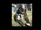 Pitbull Recovery: Sammy from the Washington Animal Rescue League (WARL) VIDEO