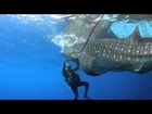 Scientists free a whale shark from a fishing net in Indonesia -...