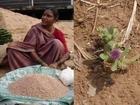 Medicinal Rice P5 based Formulations for Kakad Allergy: Pankaj Oudhia's Medicinal Plant Database