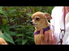 Doja Bee the Chihuahua | Bring Your Dog to Work Day With P. Allen Smith