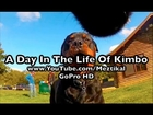 GoPro on dog - A Day In The Life Of Kimbo - Camera mounted on my dog at the woods. Pet's eye view